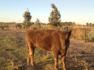 For Sale two beef steers.